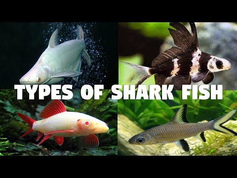 Types Of Shark Fish For Aquarium