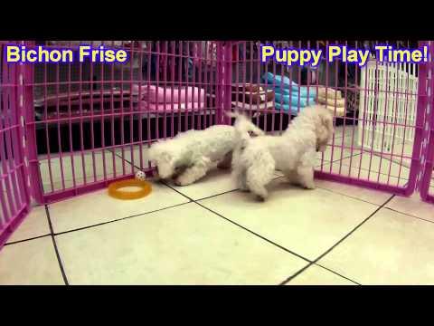 Bichon Frise, Puppies, For, Sale, In, Kearney, Nebraska, NE, Fremont, Hastings