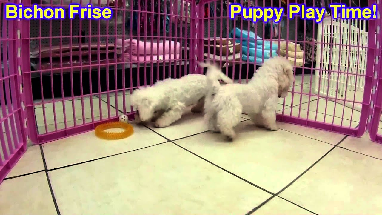 Bichon Frise, Puppies, For, Sale, In, Kearney, Nebraska ...