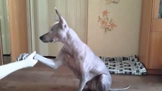 Мексиканская голая собака (  Кора )