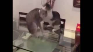 Cat Body Slam