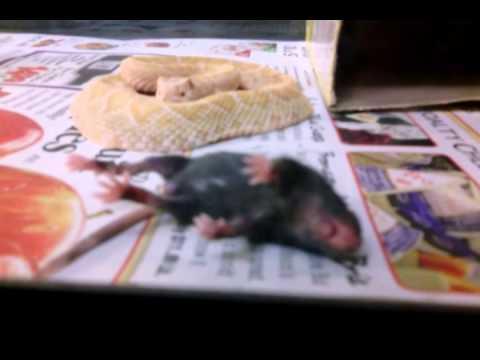 Albino Crotalus atrox live feed