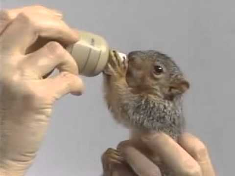 how to get baby squirrels out of your attic