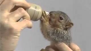 Bob Ross Feeding A Baby Squirrel