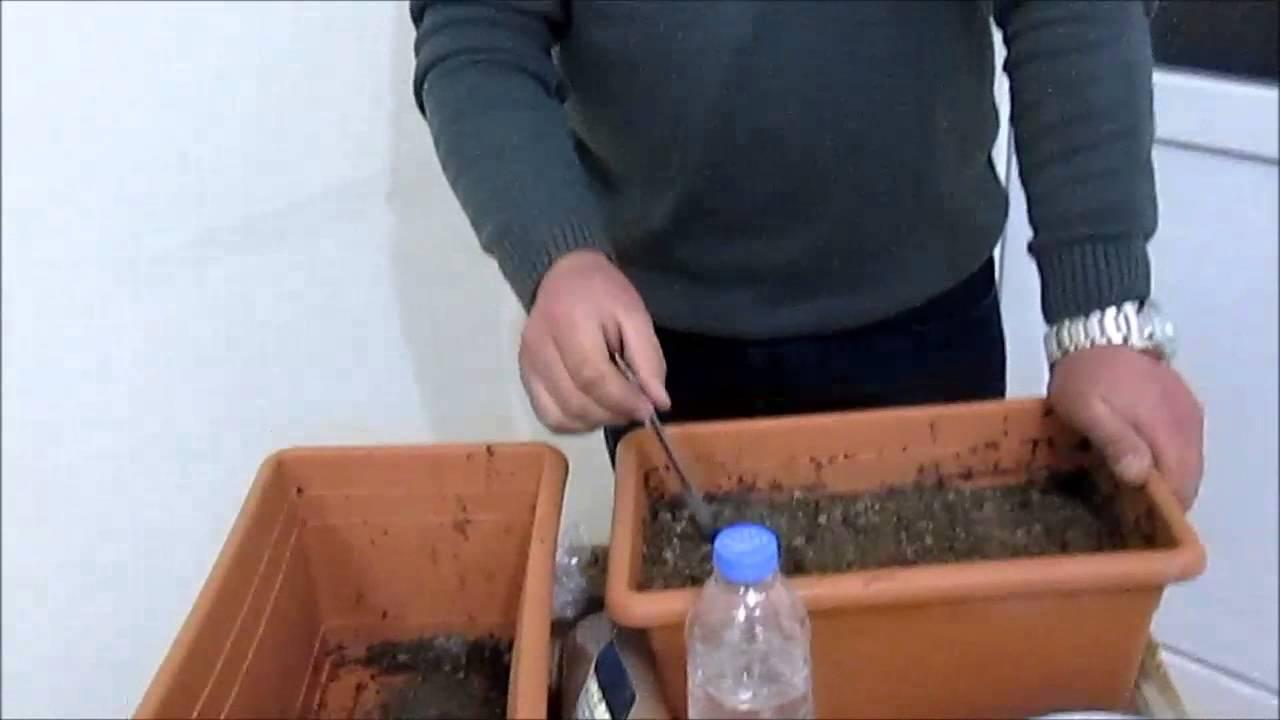 Biber tatlı ekimi ve bakımı