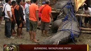24 Oras: Butanding, natagpuang patay sa Tanza, Cavite