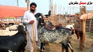 Huge Beetal Goats - Shahpur Kanjra Mandi Lahore 2019