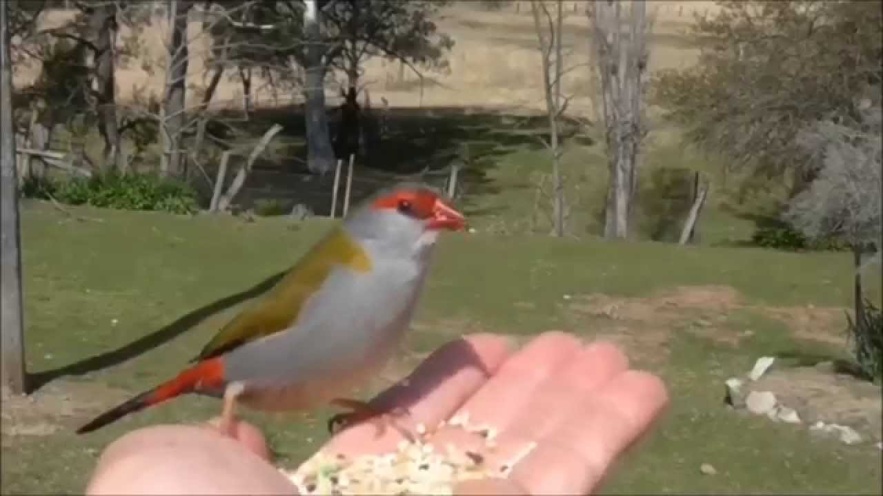 birds in my backyard finches red browed finch youtube