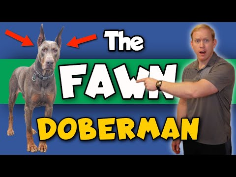 The Fawn (Isabella) Doberman: Price, Health, & Footage