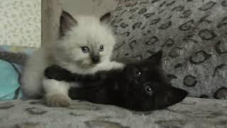 Лешка - белый, Маша - чёрная. Котята Сибирские 4 мая 2019