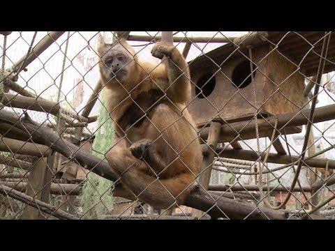 Nicolás, un mono recuperado del alcohol, es el símbolo del tráfico animal