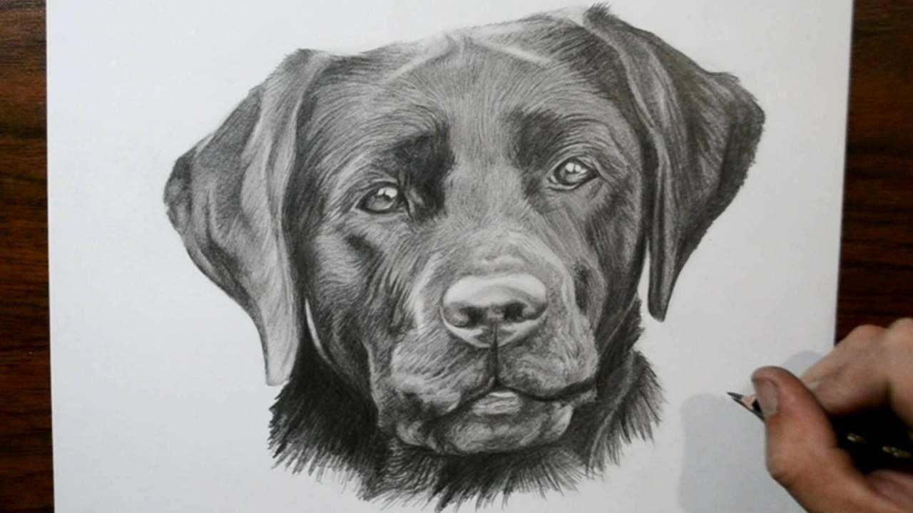 how to draw a dog labrador youtube
