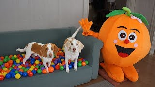 Dogs Get Ball Pit Surprise from Giant Orange! Funny Dogs Maymo & Potpie