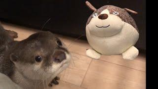 カワウソさくら 犬ぬいぐるみの大玉ころがし?  Otter playing with a dog