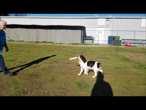 English Springer Spaniel in Flushing Training
