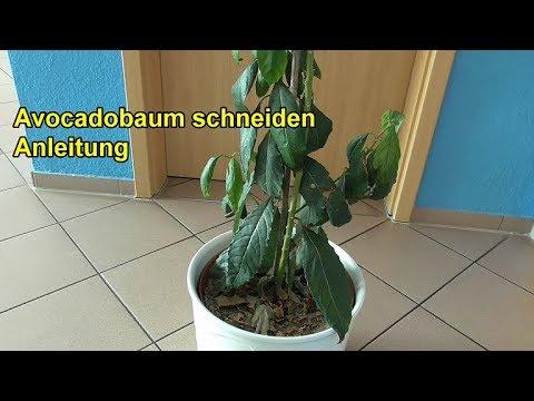 avocadobaum richtig schneiden anleitung avocado baum zur ckschneiden beschneiden youtube. Black Bedroom Furniture Sets. Home Design Ideas