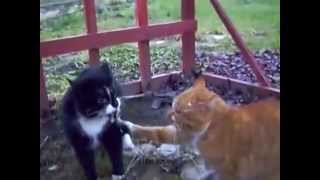 Приколы. Самые страшные драки котов.  Funny animals