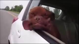 Собачка едет в автомобиле. Перевозка собак в машине.