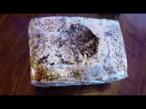 Mycelium Cultivation at Home