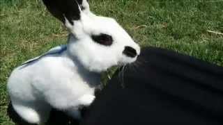 Cute English Spot Rabbit Playing Outside