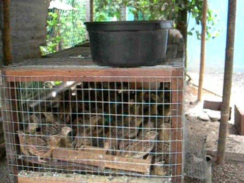 Puyuh Ayam Kampung Arnab Telur