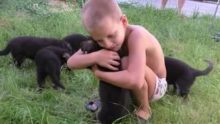 Щенки Немецкой овчарки от Роя и Боны. Puppies of the German Shepherd.