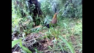 Ayam Hutan Pikat Betina 27
