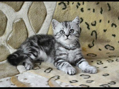 Шотландские мраморные котята, помёт Н (ч.4)
