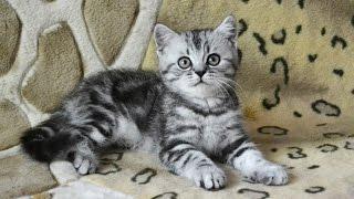 Шотландские мраморные котята, помёт