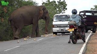 Gambar cover wild elephant chasing vehicles at the Katharagama