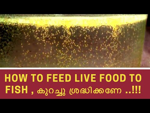 How to feed live food to fish - care needed for feeding live foods