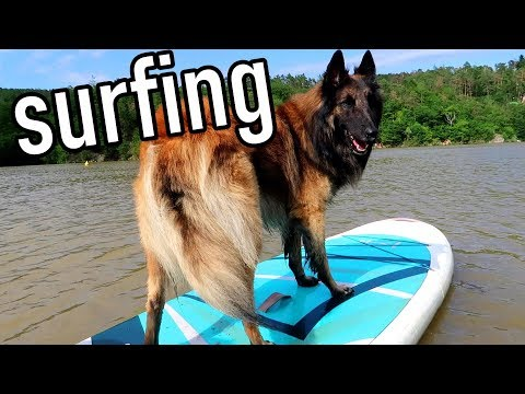 Dog Paddleboarding - Surfing with my Belgian Shepherd