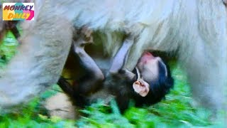 Old Butter walk follow group with new birth baby   Poor Baby milk with mom walk   Monkey Daily 5043