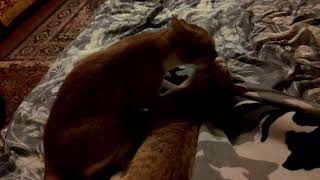 Домашние животные, кошки рыжие