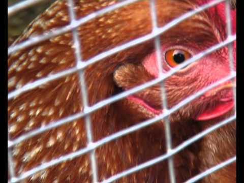 Chicken blinking sideways