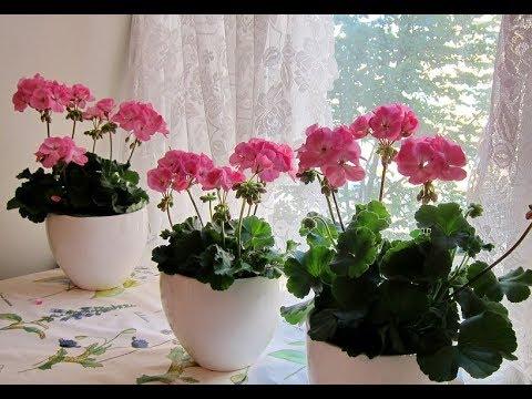 Почему ГЕРАНЬ не цветет? Как добиться пышного цветения ПЕЛАРГОНИИ в домашних условиях