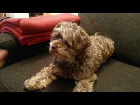 Bolonka Zwetna - Shake Hands - Funny Amazing Dog