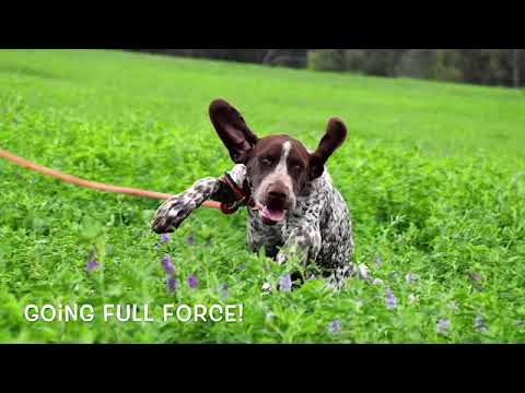 Weimaraner and Gsp field Training