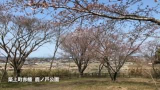 築上町赤幡鹿ノ戸公園  桜咲きはじめ