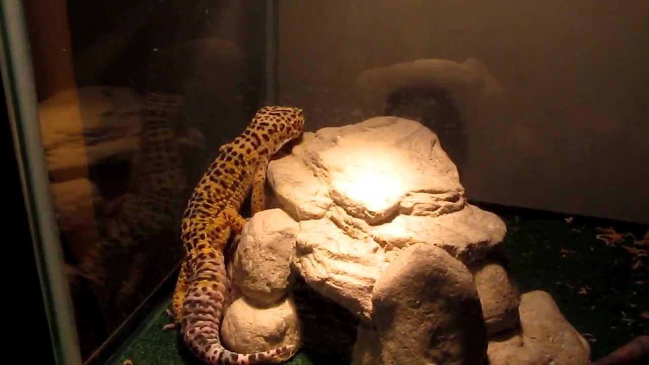 Heat lamp or pad:leopard gecko - YouTube