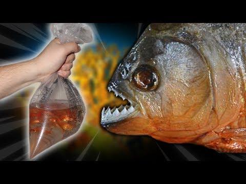 FEEDING MY DARK WEB PIRANHA 100 GOLDFISH!! (SCARY!) Scariest Pet I've Ever Owned!!
