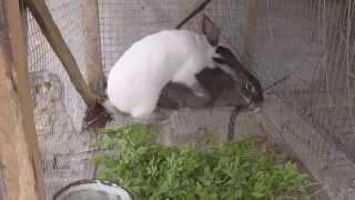Как разводить кроликов. Спаривание кроликов после окрола(Разведение кроликов в домашних условиях требует от хозяина определить точный момент для случки после..., 2015-04-25T15:23:01.000Z)