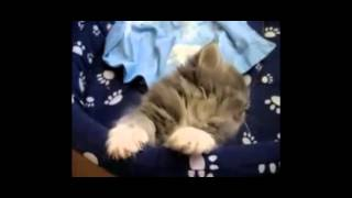 The Pretty Kitten Asleep On Camera - It's So Cute | Too Cute Animals |