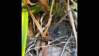 Bird Hidden Nest Video @opaeularelated   Falcon Aquarium Services