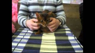 Абиссинская кошка на выставке кошек 2014(Абиссинская кошка на выставке кошек 2014 http://koshkionline.ru/ http://www.youtube.com/user/Alex44549 Абиссинская кошка красивая порода..., 2014-02-17T17:33:01.000Z)