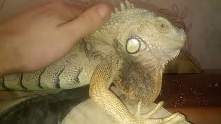 Зелёная игуана дома Опух палец на лапе жесть!!!