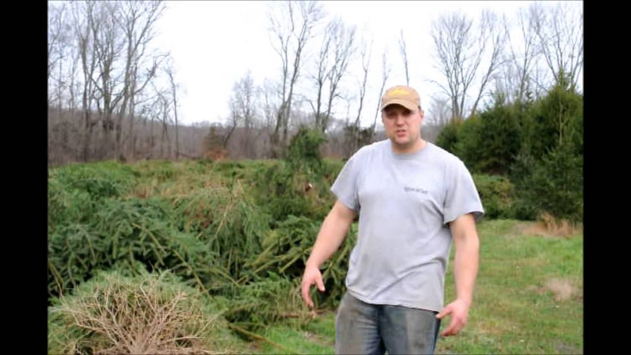 Replanting Christmas Trees in an Old Xmas Tree Field - YouTube