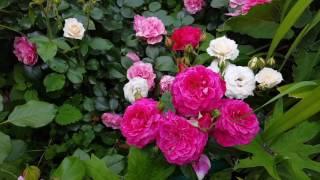 видео Роза Elizabeth Stuart