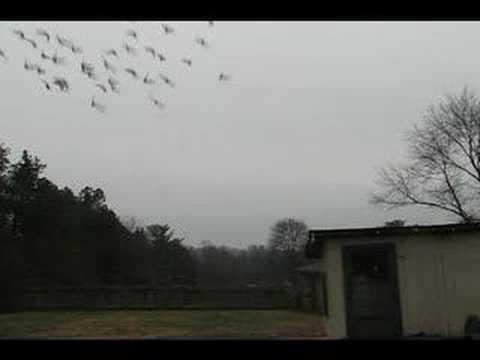 Racing Pigeons