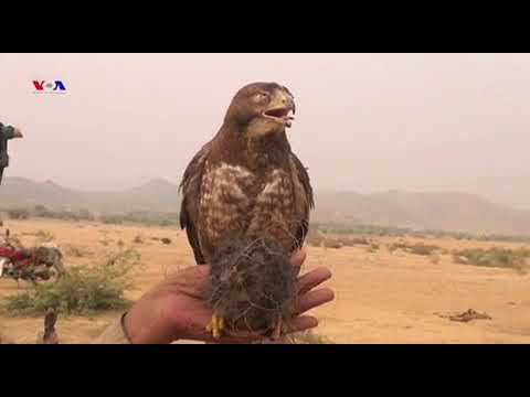 Eagle Hunting In FATA PAKISTAN